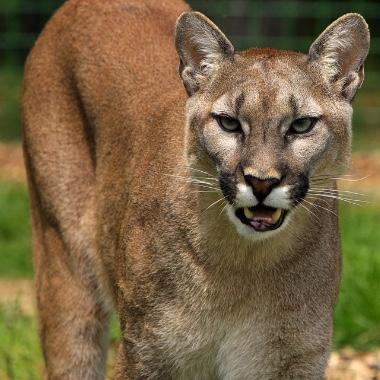 cougar2-pixabay